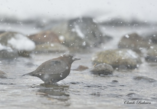 Cincle de Pallas Cinclus pallasii - Brown Dipper